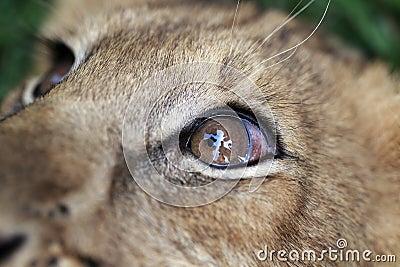 Lion Cub Macro