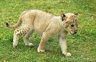 Lion cub moving