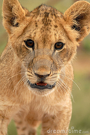 Free Lion Cub (panthera Leo), South Africa Stock Images - 477444