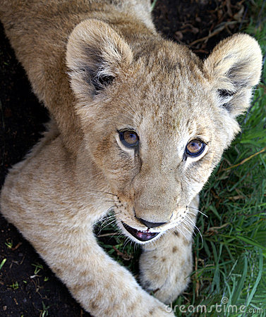 Lion cub portrait