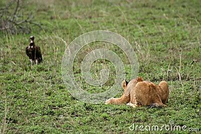 Lion Cub Pounce Practice