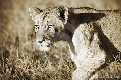 Lion cub in sepia
