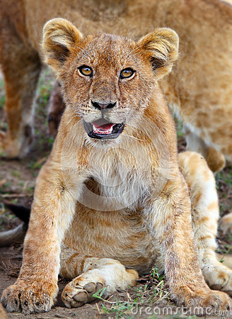 Lion cub  in Serengeti