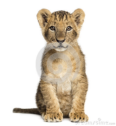 Free Lion Cub Sitting, Looking At The Camera, 10 Weeks Old, Isolated Royalty Free Stock Image - 36784196
