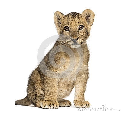 Free Lion Cub Sitting Old, Looking At The Camera, 10 Weeks, Isolated Stock Photo - 36784060