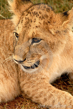 Free Lion Cub, South Africa Stock Image - 477441