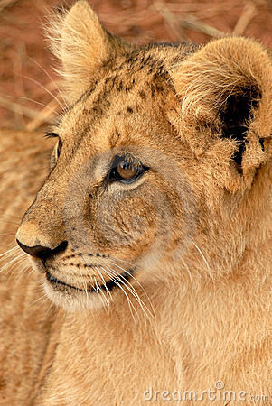 Free Lion Cub, South Africa Stock Photography - 477442