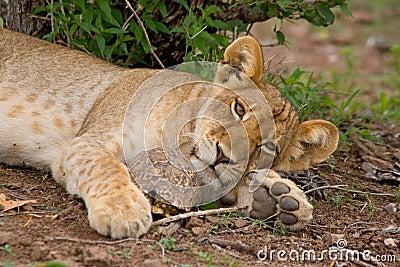 Lion cub and tortoise