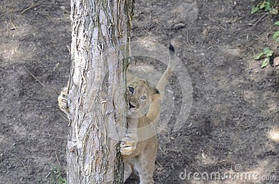 Lion cub and tree