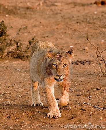 Lion cub in Tuli Block