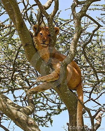 Lion Cub Wedged in a Tree