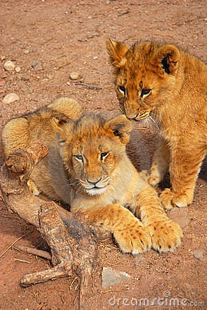 Free Lion Cubs Royalty Free Stock Photography - 6490287