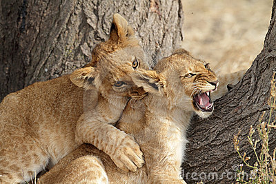 Lion cubs play fighting, Serengeti