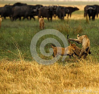 Free Lion Cubs Playing Stock Image - 47040611