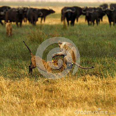 Free Lion Cubs Playing Royalty Free Stock Photography - 47040927