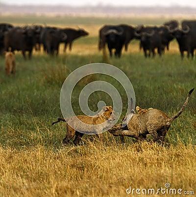 Free Lion Cubs Playing Stock Photos - 47041343