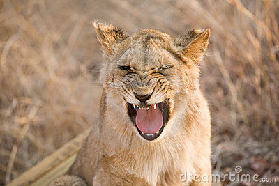Lion de baîllement