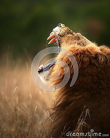 Free Lion Displaying Dangerous Teeth Royalty Free Stock Image - 20326116
