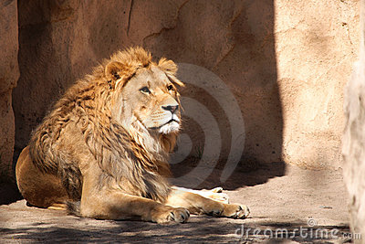 Lion in Dresden zoo