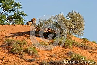 Lion on dune