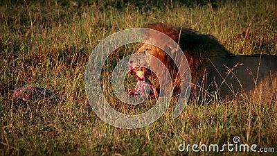 Lion Eating Prey masculino almacen de metraje de vídeo