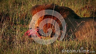 Lion Eating Prey masculino almacen de video