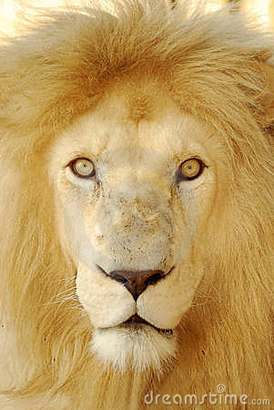 Lion face close