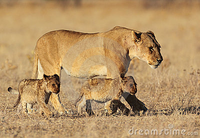 Lion family in golden sunrise light