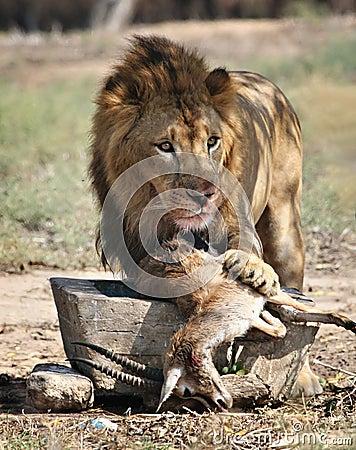Lions feeding by alecd on DeviantArt