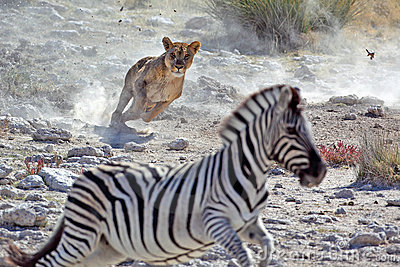 Lion female hunting zebra