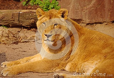 Lion female is lying in rest in Heidelberg Zoo