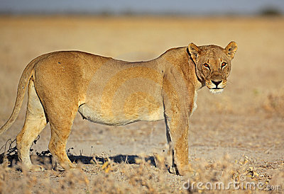 Lion female in morning sun, Etosha, Namibia