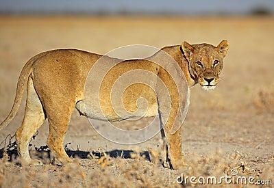 Lion female in morning sun, Etosha, Namibia
