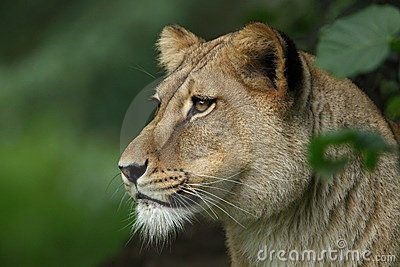 Lion female portrait