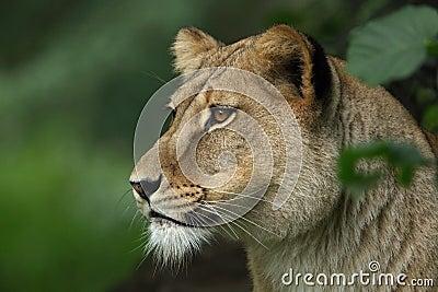 Lion female portrait