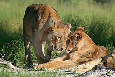 Lion females greeting, Okavango, Botswana