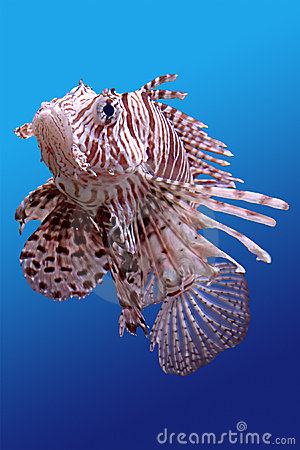 Free Lion-fish Stock Images - 13877674