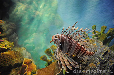 Lion fish in the aquarium.