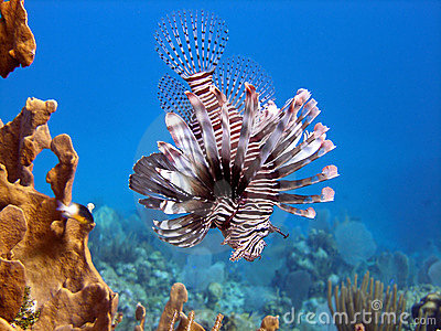 Lion Fish, deadly predator