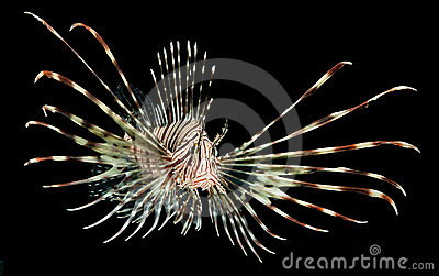 lion fish isolated on black background