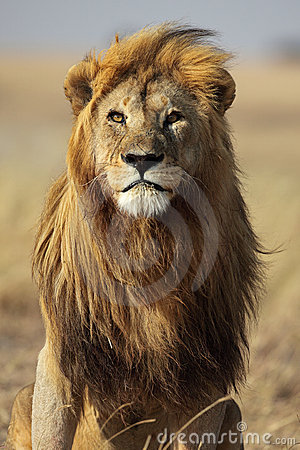 Lion with golden mane, Serengeti, Tanzania