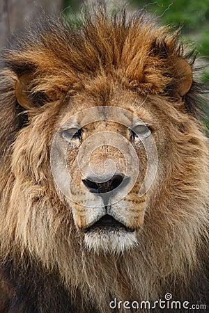 Free Lion Head Stock Photography - 11185342