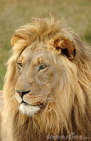 Free Lion Head Portrait Royalty Free Stock Photos - 1450288