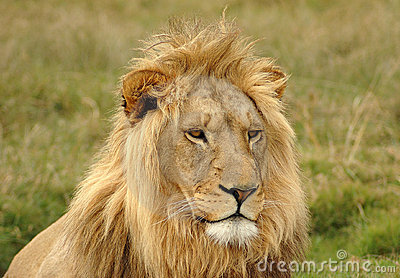 Lion head portrait