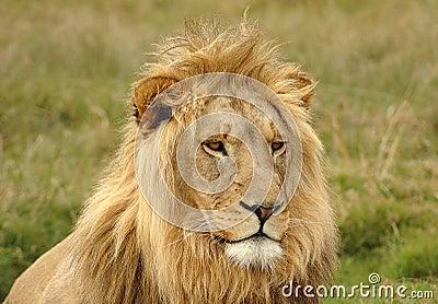 Lion head portrait