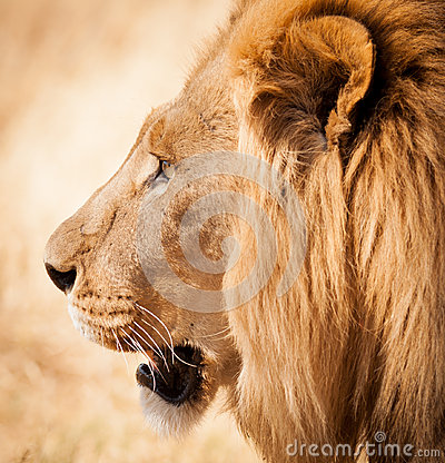 Free Lion Head Side Profile In Zambia Africa Stock Photo - 41149930