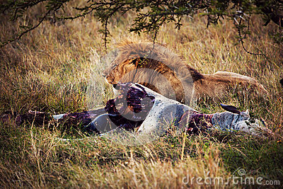 Lion and his prey on savanna, Serengeti, Africa