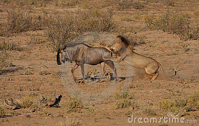Lion hunt in motion