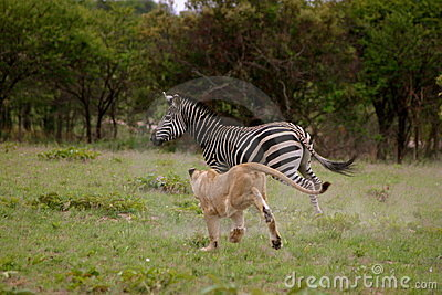 Lion hunting Zebra