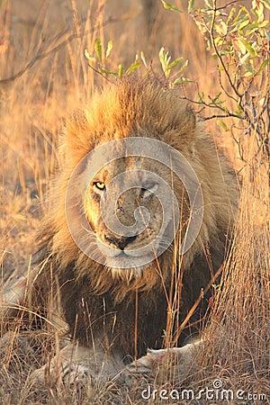 Free Lion In Sabi Sands Stock Image - 5569441